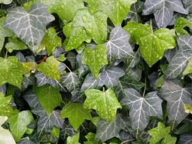 ivy-2269161_640